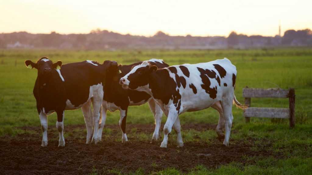 Sapi merupakan sumber makanan manusia yang menghasilkan gas rumah kaca dan gas asam terbesar.